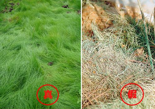 鼠茅草,鼠茅草种子,鼠茅草价格,鼠茅草厂家,鼠毛草,绿肥种子,绿肥,嘉禾源硕